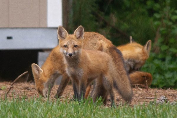 Look at Dem Foxes